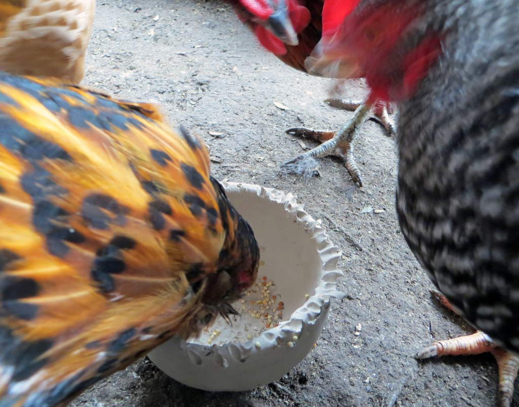 The last hen standing pecking a clay bowl